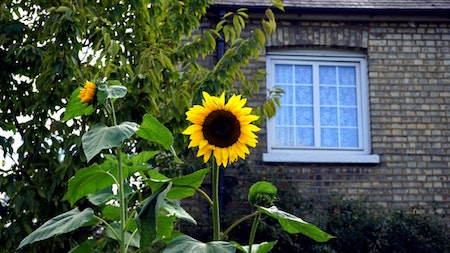 sunflower-house-window